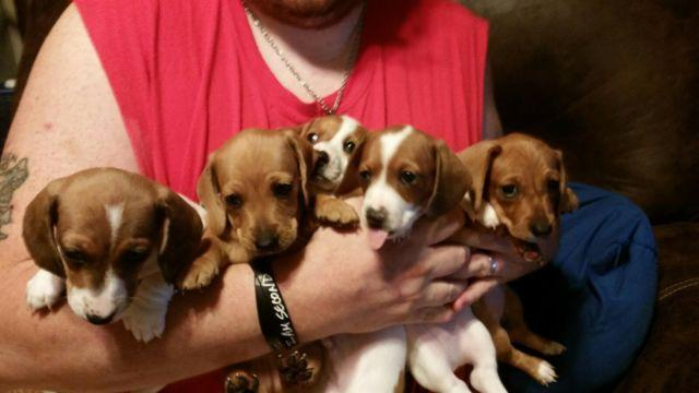Adorable Dachshund Puppies for sale!