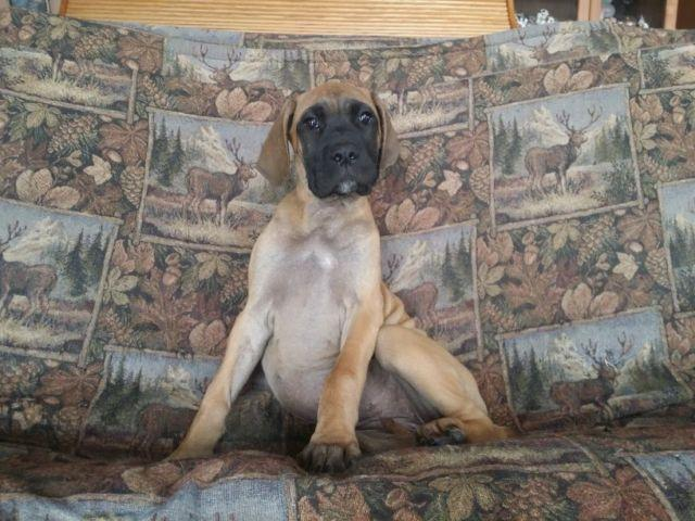 Great Dane x Mastiff Puppies Mastiff/ Great Dane