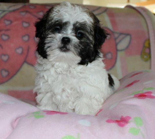Adorable Designer Puppy Shorkie Female For Sale In Galt