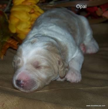Adorable Double Doodles and F1B Goldendoodle Puppies