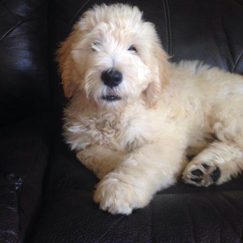 Adorable English cream goldendoodle puppies for Sale in ...