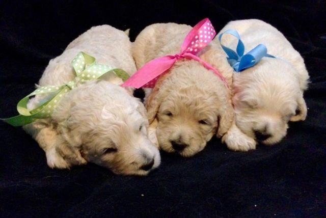 Adorable English Goldendoodle Puppies For Sale For Sale In Martin