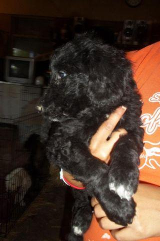 Adorable F1b Colliedoodle Females For Sale In Liberty