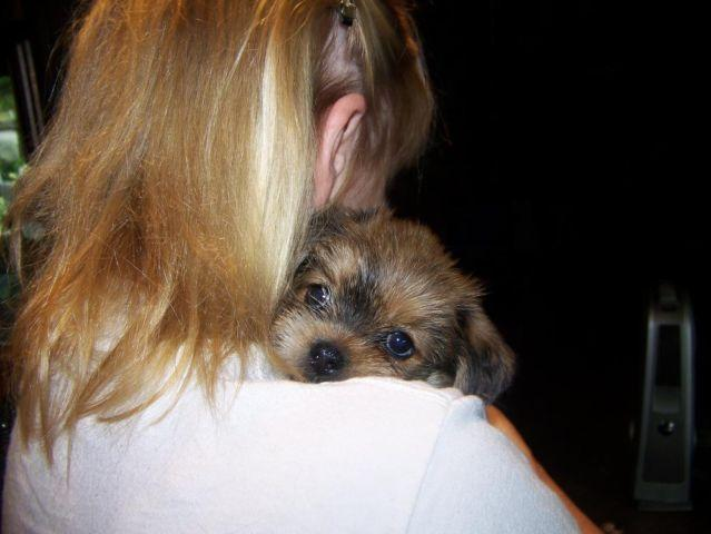 Adorable Family Raised Yorkshire Terriershih Tzu Puppies For Sale