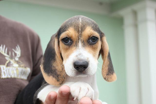 Puppies Beagle Pets And Animals For Sale In Florida Puppy And