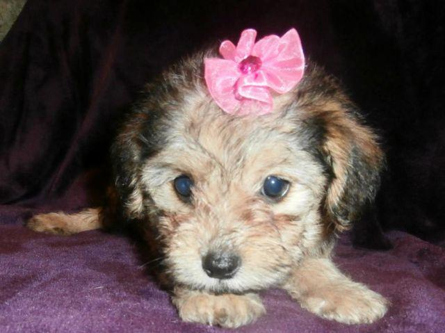 Adorable Female Morkiepoo Maltese Yorkie Poodle Mix Chocolate