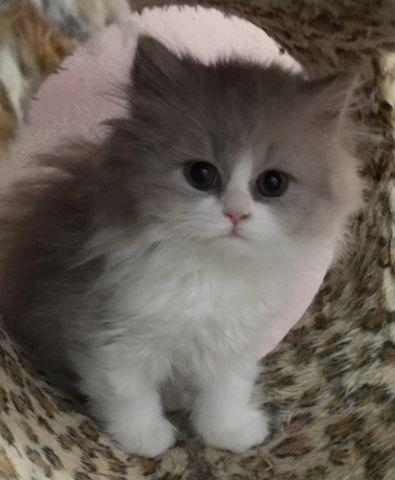 British Shorthair Kitten Pets And Animals For Sale In The