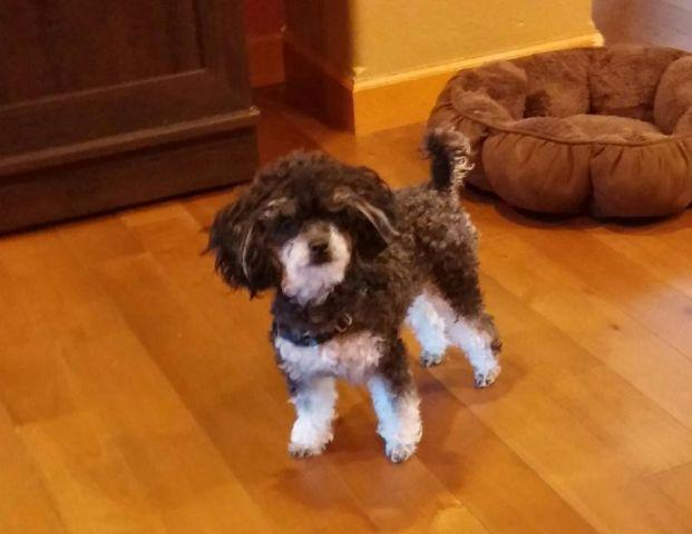 Adorable Female Phantom Toy Poodle For Sale In Lynnwood