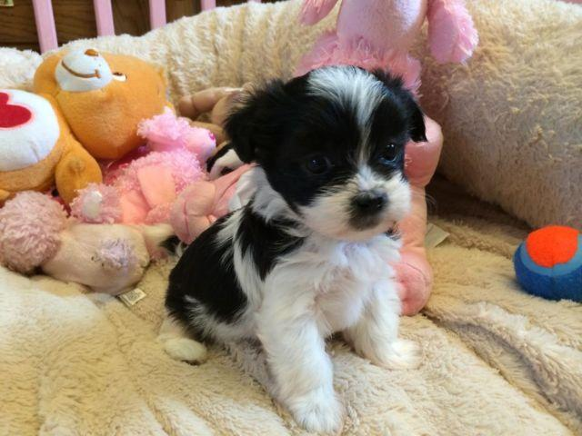 shih tzu puppies michigan adorable female shih poo puppy shih tzu x toy poodle for 8810