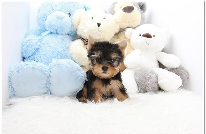 Adorable Female Teacup Yorkie For Sale In Los Angeles California