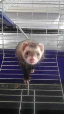 adorable ferret and cage