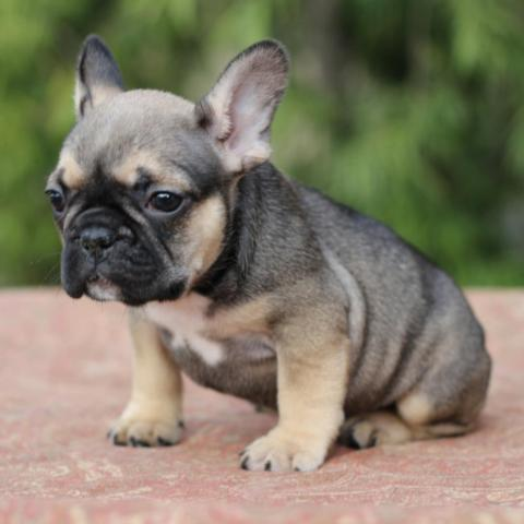 Adorable French Bulldog Puppies Akc San Francisco Bay Area For Sale