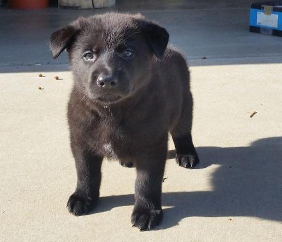 Sheprador Puppies Pets And Animals For Sale In The Usa Puppy And
