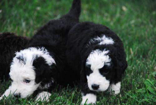 Adorable goldendoodle puppies F1B