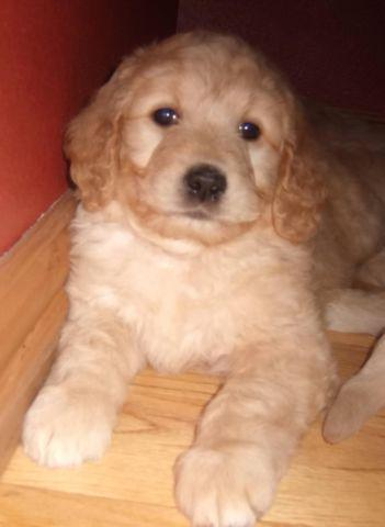 ADORABLE GOLDENDOODLE PUPS,