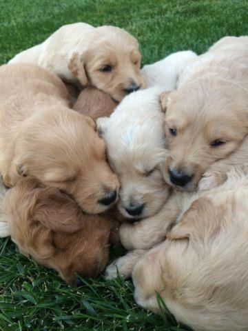 Toy Poodle Female Pets And Animals For Sale In Vancouver