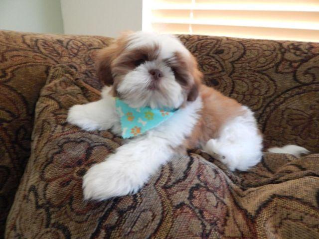 Shih Tzu Poodle Pets And Animals For Sale In Crocker Washington