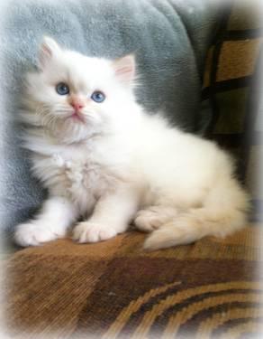Adorable Himalayan Kittens