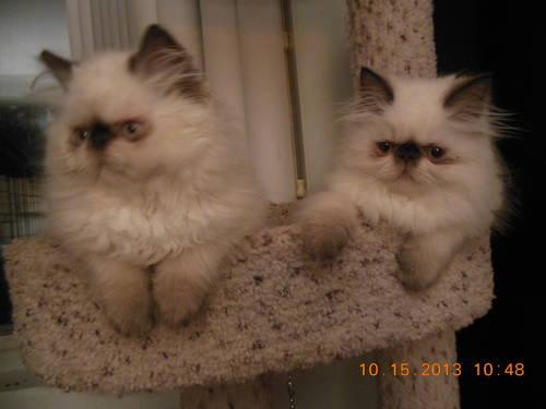Adorable Himalayan Persian Kittens For Sale In Dayton Ohio