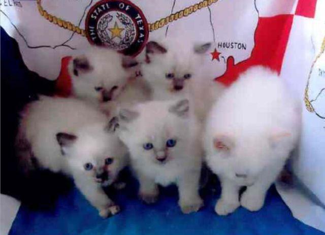 Adorable Himalayan/Siamese Kittens