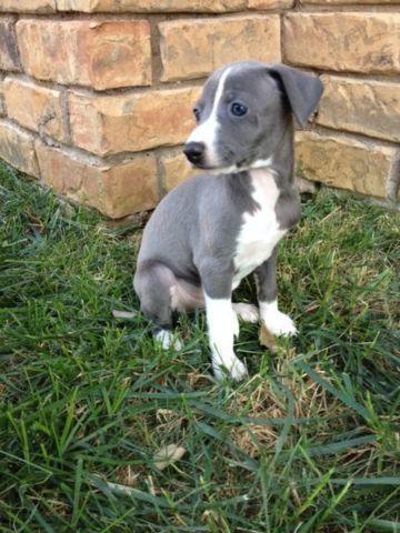 Adorable Italian Greyhound Puppy For Sale In Grand Prairie Texas Classified Americanlisted Com