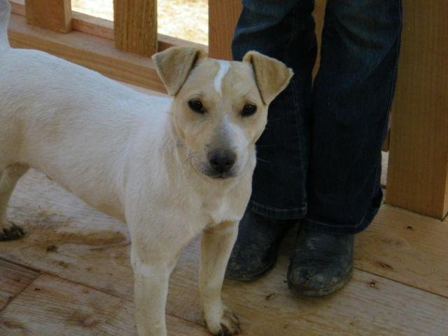 Adorable Jack Russell Puppy for Adoption- 9 mths old