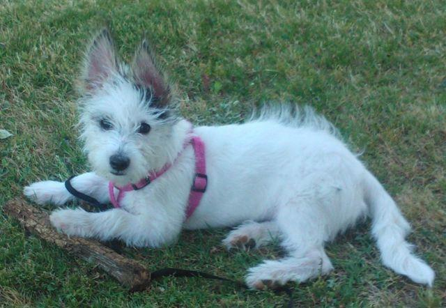 maltese jack russell terrier mix adorable jack russell terrier maltese mix puppy 4 months 9750
