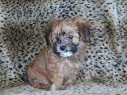 ADORABLE JACK RUSSELL TERRIER TOY POODLE MIX PUPPIES JACKAPOO