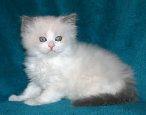 Ragdoll Cats For Sale In Wisconsin