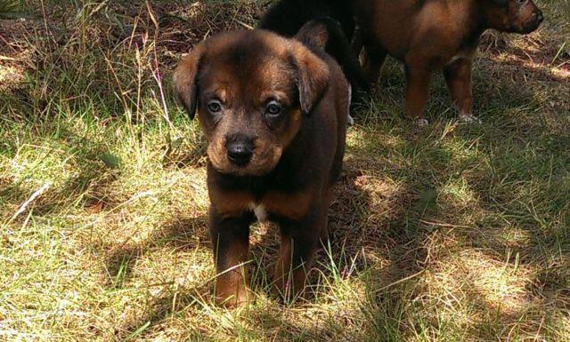 Adorable Labrottweiler Mix Puppies For Sale In Olympia Washington