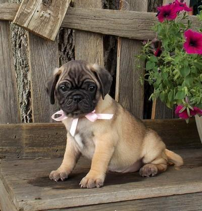 Adorable Little Bug Puppies! Pug/Boston Lots of Wrinkles