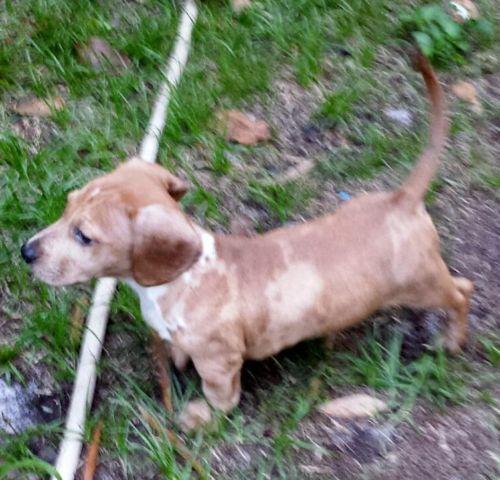 Adorable Little Merle Basset Hound / Mini Dachshund Puppy for Sale ...
