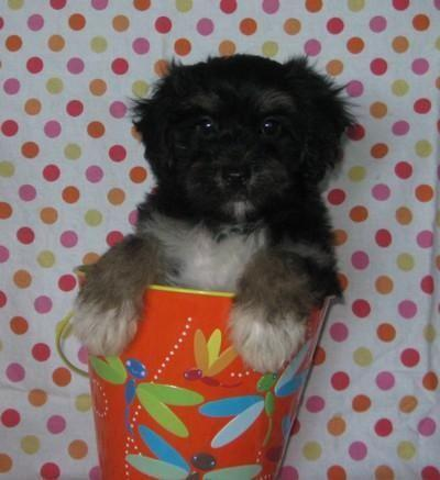 Adorable Little Morkie Poo Puppies Morkiepoodle For Sale