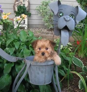 yorkie mixed puppies for sale mn adorable little morkie puppies yorkie maltese for sale in 5765