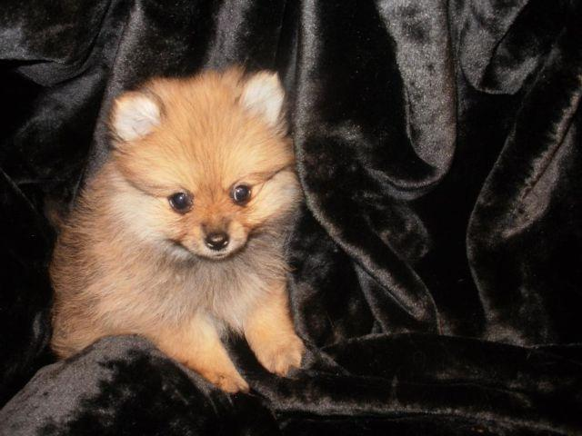 adorable little pomeranian female