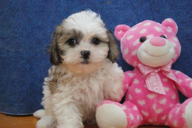 ADORABLE LITTLE SHIH CHON (TEDDY BEARS) PUPPIES