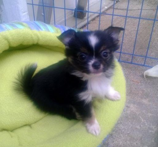 chihuahua for sale in va adorable long coat chihuahua girl akc for sale in 8393