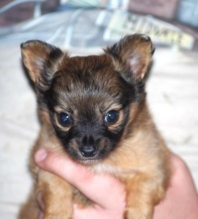 Chihuahua For Sale in Iowa - Hoobly Classifieds