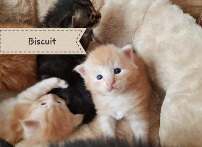 Adorable Maine Coon Kittens For Sale In Scottsdale Arizona Classified Americanlisted Com