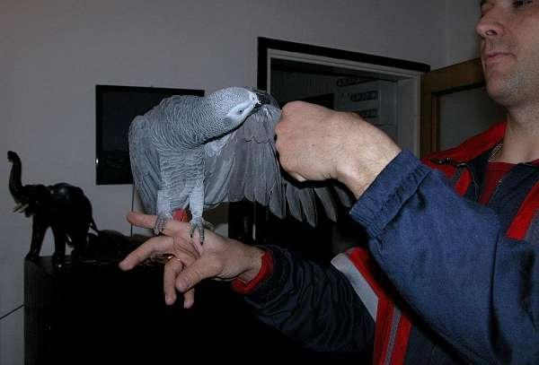 Adorable Male and Female African Grey Parrots