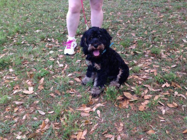 Adorable Male Cockapoo - 7 Months Old
