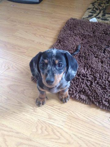 Adorable male Dappled Dachshund