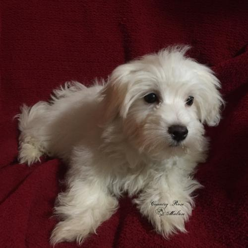 maltese breeders indiana adorable male maltese puppies for sale in winchester 1096