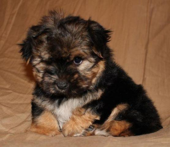 Adorable Male Morkie Puppy (Maltese/Yorkie) for Sale in