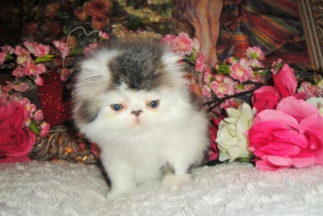 Adorable Male Persian Kitten
