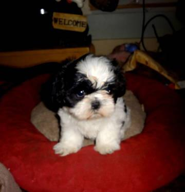Adorable Male Shih Tzu Puppy For Sale Akc Puppies Shitzu Shitsu For