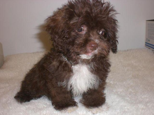 Yorkie Poo Puppies For Sale In Paducah Ky Picture   Dog Breeds Picture
