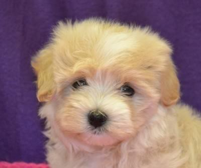 Adorable Maltese Babies!! For That Special Someone???!