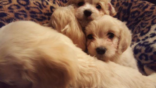 Adorable Maltese/cocker spaniel mix puppies!