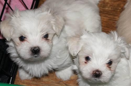 Cool Maltese Chubby Adorable Dog - adorable-maltese-maltese-shih-tzu-mix-puppies-americanlisted_30166669  Image_48322  .jpg